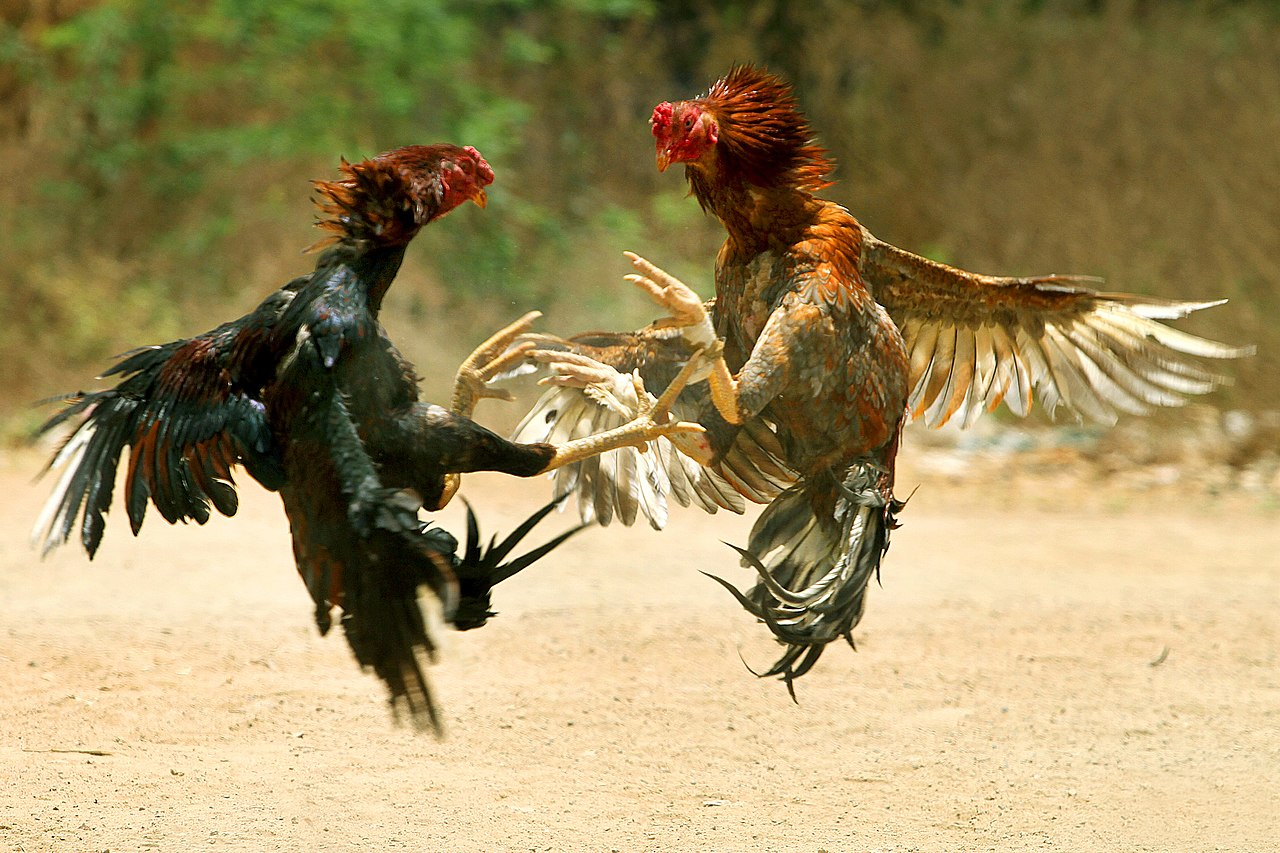 Cock Fighting In Louisianna 115