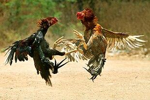 Combattimento di galli - Wikipedia