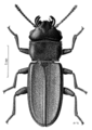 COLE Curculionidae Platisus zelandicus.png
