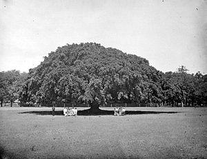 Situbondo Regency - Image: COLLECTIE TROPENMUSEUM Portret van twee groepjes mensen onder een waringin Situbondo T Mnr 10021998