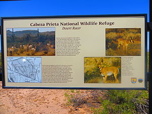 Sonoran pronghorn - Sign along the El Camino Del Diablo at the eastern entrance to Cabeza Prieta National Wildlife Refuge, providing information about the animal