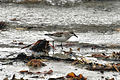 CSIRO ScienceImage 3854 Rednecked Stint Flinders Victoria.jpg