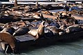 California, San Francisco, Pier 39, sea lions.jpg