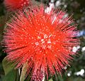 Calliandra carbonaria (1).jpg