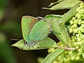 Callophrys rubi - Green hairstreak - Малинница (40993369012).jpg