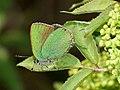 Callophrys rubi - Green hairstreak - Малинница (40993369012).jpg