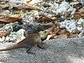 Calotes versicolor -Fihalhohi -Maldives -male-8.jpg