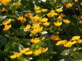 Caltha palustris2.jpg