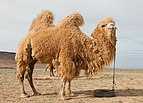 Camel Farm in Mongolia 02.jpg