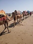 Camel transport.jpg