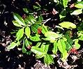 Camellia sinensis 06.jpg