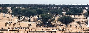 Tsabong - Camels are used for patrol by the police in this area
