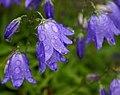 Campanula rotundifolia (861252482).jpg