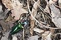 Campsosternus mirabilis (34833228624).jpg