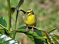 Canary, yellow-fronted c2.jpg