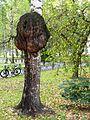 Cancer betula(Petrozavodsk).jpg