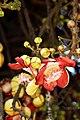 Canon ball tree flower (Couroupita guianensis (32024396850).jpg
