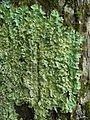Canoparmelia crozalsiana - Flickr - pellaea.jpg