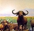 Cape Buffalo Syncerus Caffer (51134954).jpeg
