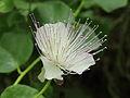 Capparis spinosa-IMG 4424.jpg