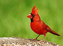 220px-Cardinal.jpg