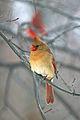 Cardinalis cardinalis -Cleveland, Ohio, USA -female-8.jpg