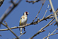 Carduelis carduelis - European goldfinch (male) 02.jpg