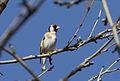 Carduelis carduelis - European goldfinch (male) 02.jpg