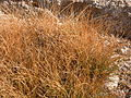 Carex filifolia (3809175966).jpg