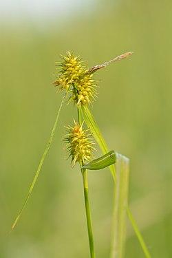 Carex flava - kollane tarn.jpg