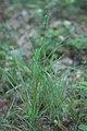 Carex pallescens plant (2).jpg