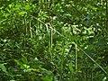Carex pendula inflorescens (73).jpg