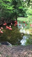 File:Caribbean Flamingos at Jacksonville Zoo.webm