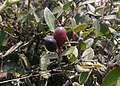 Carissa spinarum - କ୍ଷୀର କୋଳି ବା ଦୁଧ କୋଳି - ପାଚିଲା (କଳା).jpg