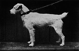 Jack Russell Terrier - Carlisle Tack, a Fox terrier born in 1884, who was owned by John Russell.