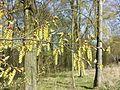 Carpinus betulus sl18.jpg