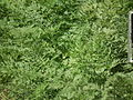 Carrot plant from lalbagh 2328.JPG