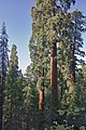 Case Mountain Giant Sequoias BLM 15.jpg