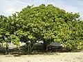 Cashew Brazil tree.jpg