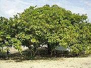 Дерево кешью в Бразилии, близ Форталезы