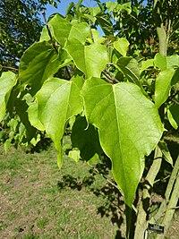 Catalpa fargensii, forma duclouxii (Bignoniaceae) (leaves)