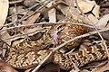 Causus rhombeatus in Mlilwane Wildlife Sanctuary 01.jpg