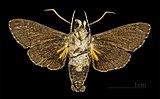 Cautethia spuria MHNT Cut 2010 0 6 ventral.jpg