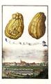 Cedro à Ditela ò multiforme Volkamer 1708 116b.png