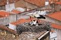 Cegonha Branca ( Ciconia ciconia ) 10 (48309008936).jpg