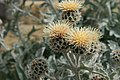 Centaurea-clementei-flower-heads.jpg