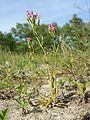 Centaurium littorale subsp. uliginosum sl8.jpg