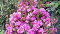 Centradenia floribunda 'Spanish Shawl'.jpg