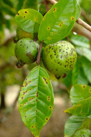 Cephaleuros virescens - Cephaleuros parasiticus as a parasite of guava leaves and fruit in Hawaii, causing a leaf and fruit spot disease.