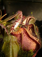 The Albany Pitcher Plant is the only member of the Australian genus Cephalotus